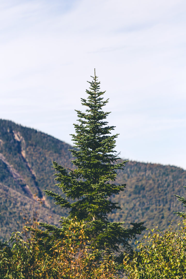 Pointy Evergreen Tree Against a Mountain