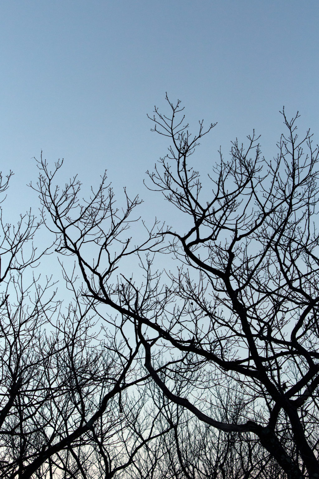 Silhouetted Tree Branches
