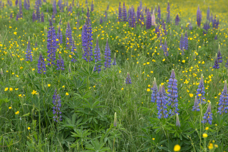 Field of Lupine and Wild Flowers