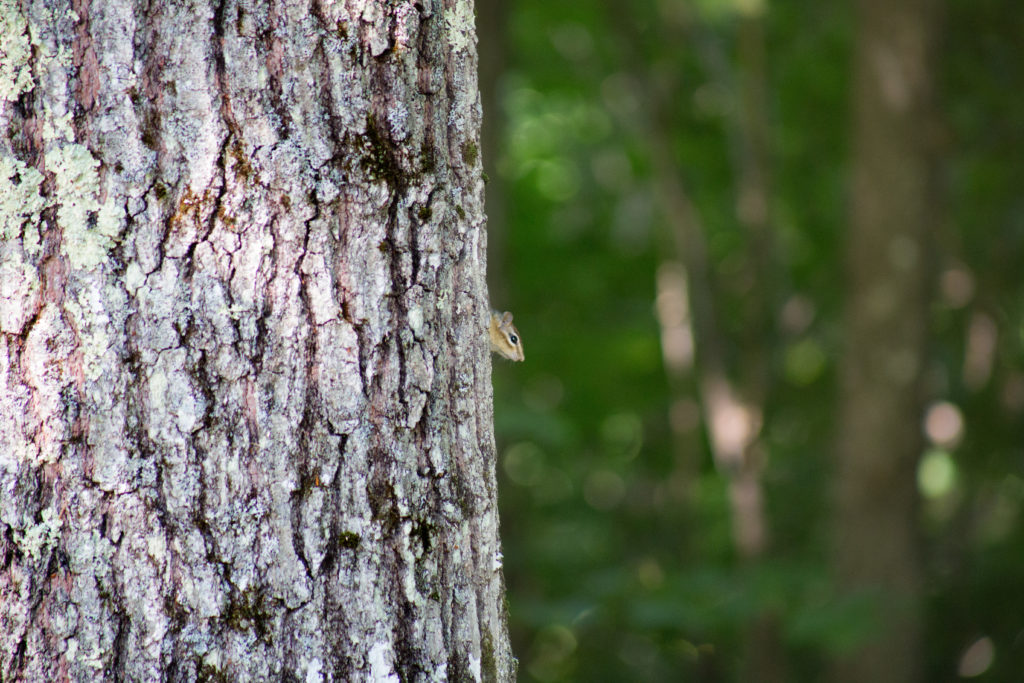 Tiny Chipmunk Peeking Out From Behind Large Tree