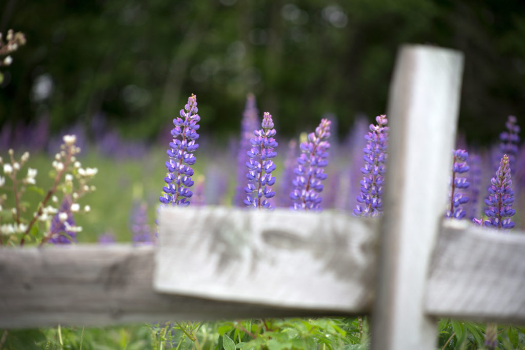 Lupines Past a Split-Rail Fence