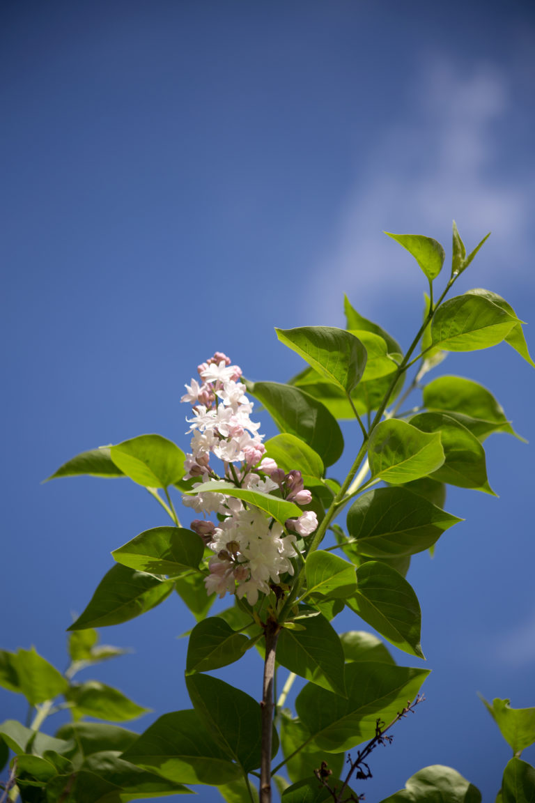 Lilac Against Blue Sky
