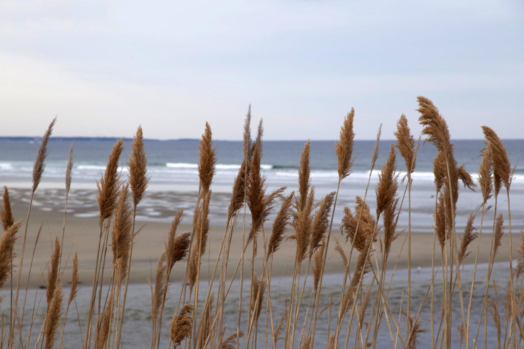 Tall Grass at the Seaside