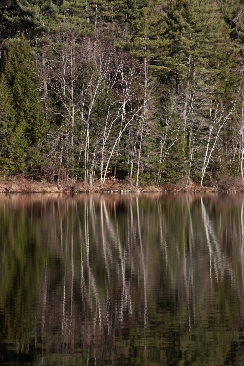 Bare Trees Reflected in Still Pond