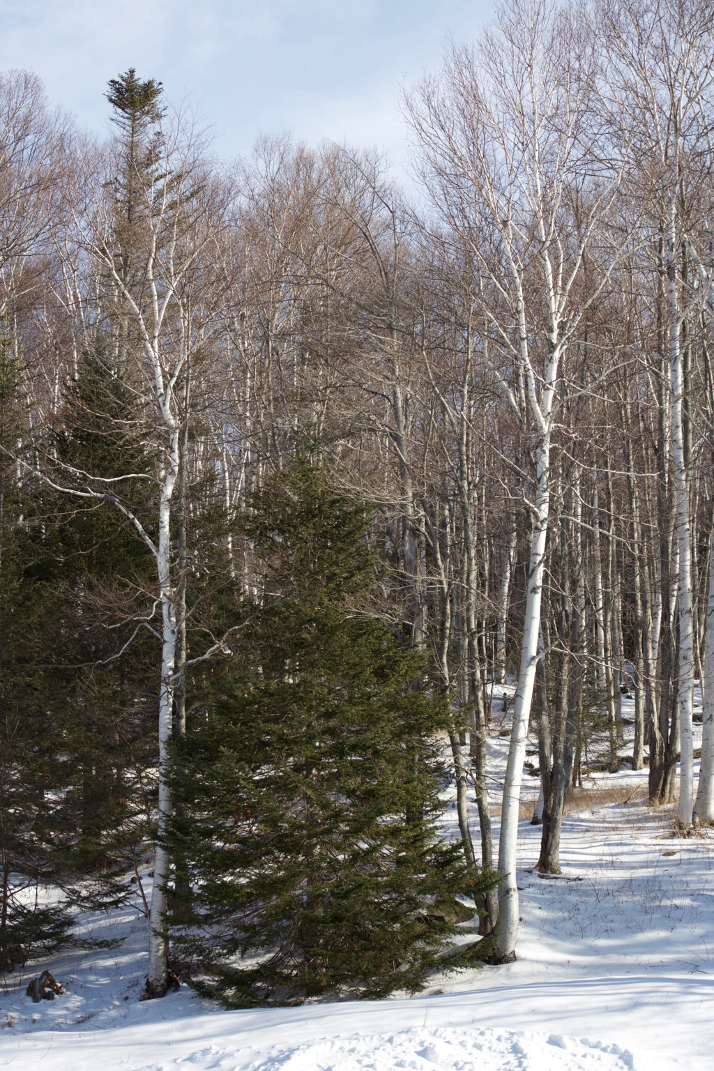 Trees at the Edge of a Snowy Wood