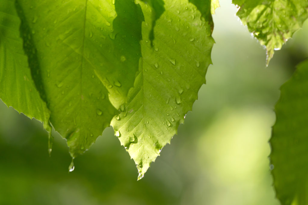 Dripping Green Leaves
