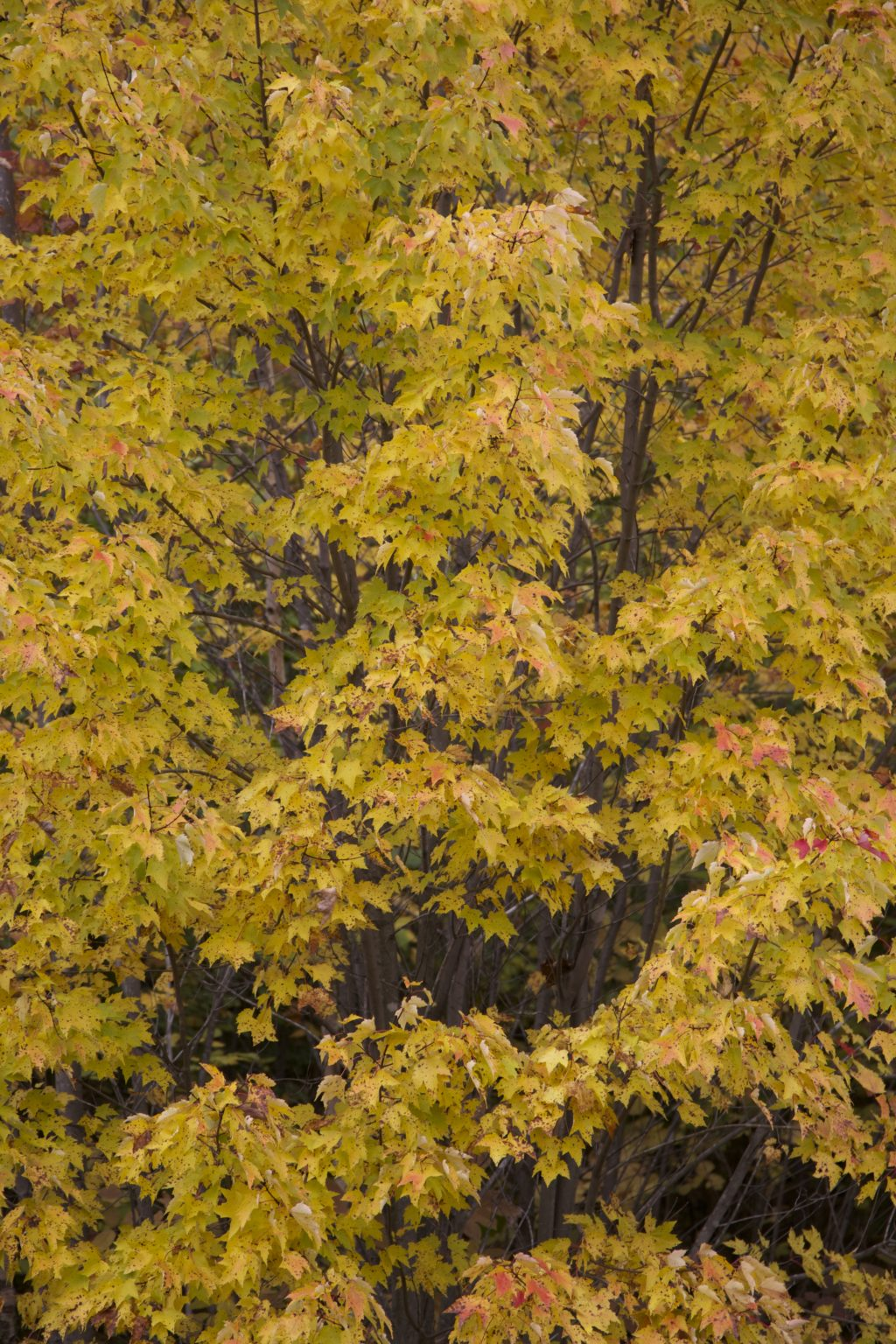 Wall of Yellow Foliage