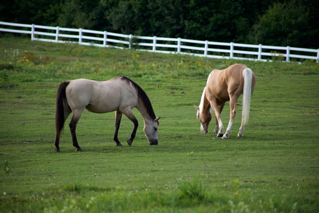 Two Horses Grazing in Fenced-In Paddock