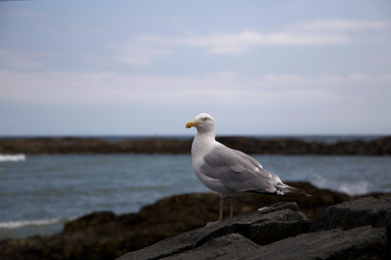 Seagull on the Rocks at the Ocean