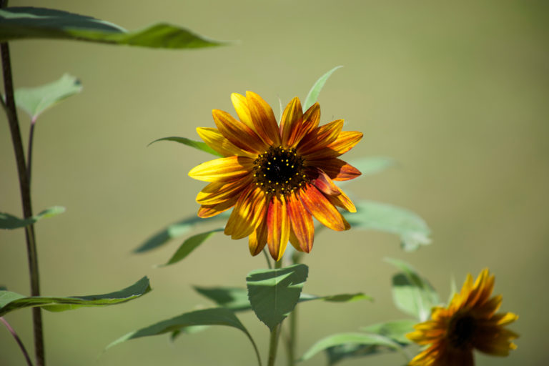 Small Multicolored Sunflower