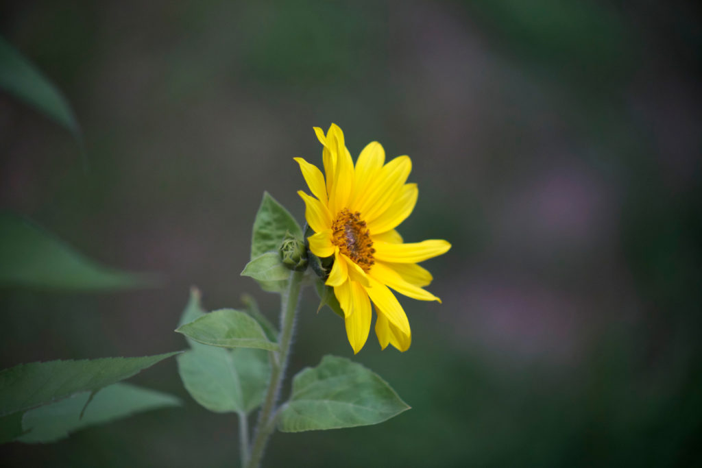 Tiny Sunflower