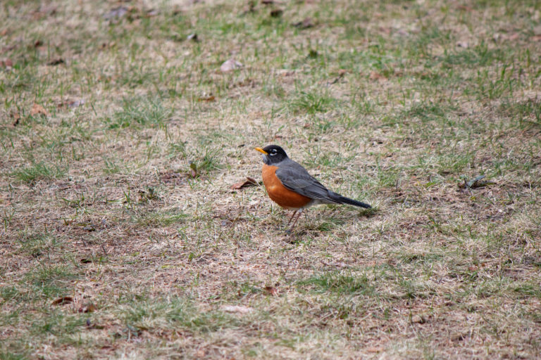 Robin on Lawn