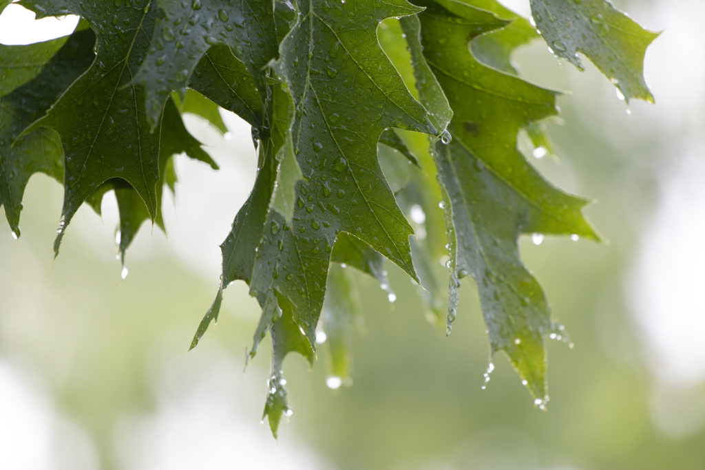 Wet Oak Leaves