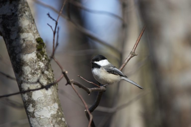 Single Chickadee on a Bare Tree