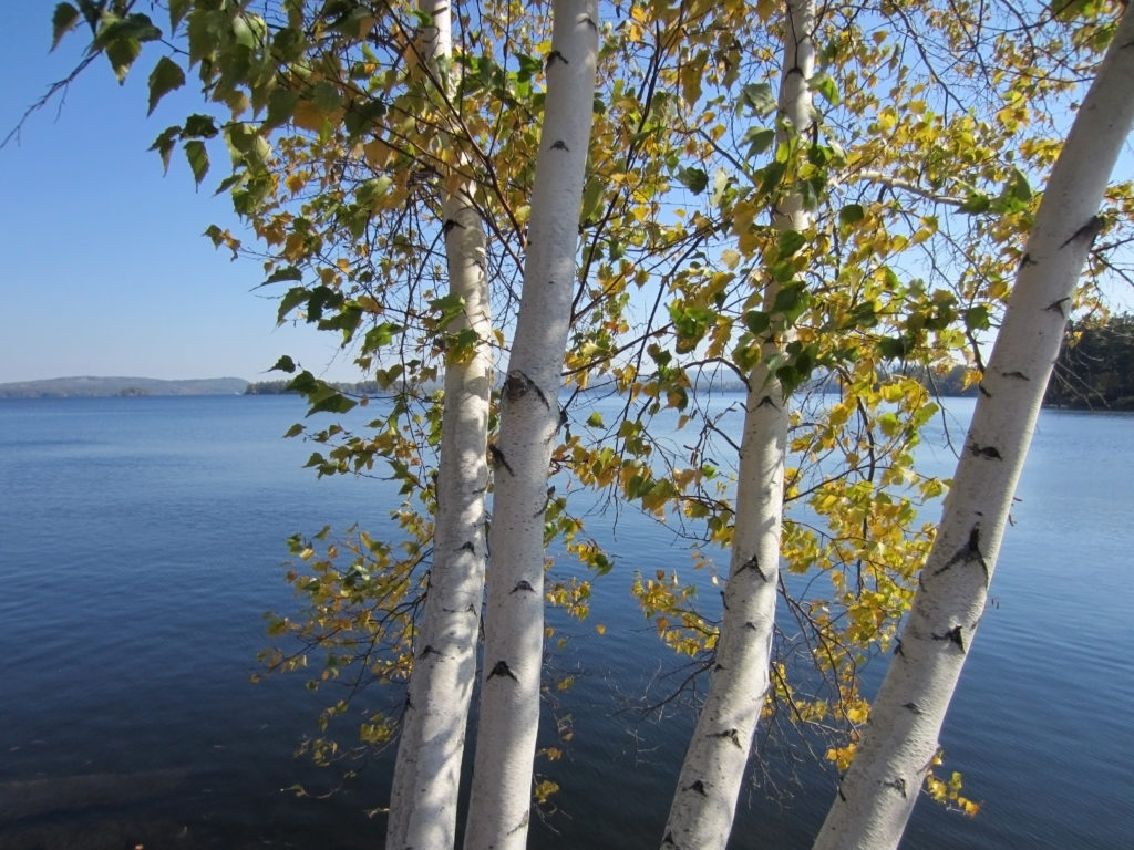 Birch Trees by a Lake
