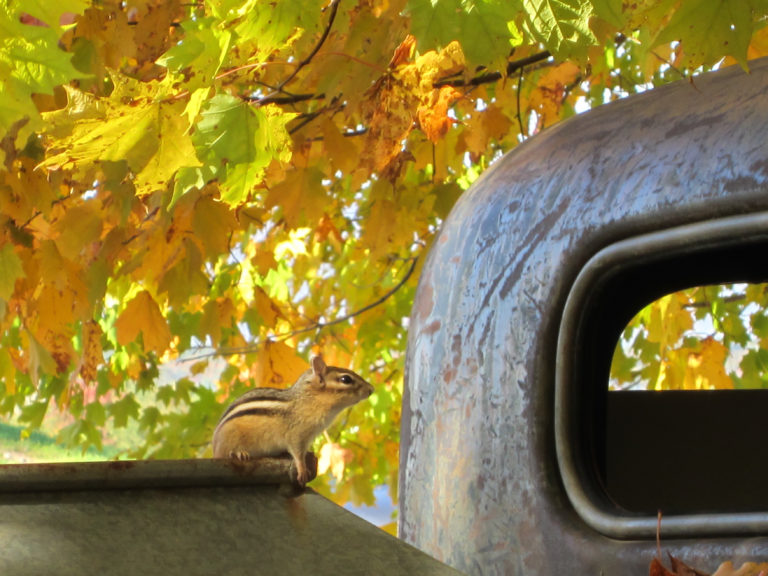 Chipmunk on a Truck in the Fall