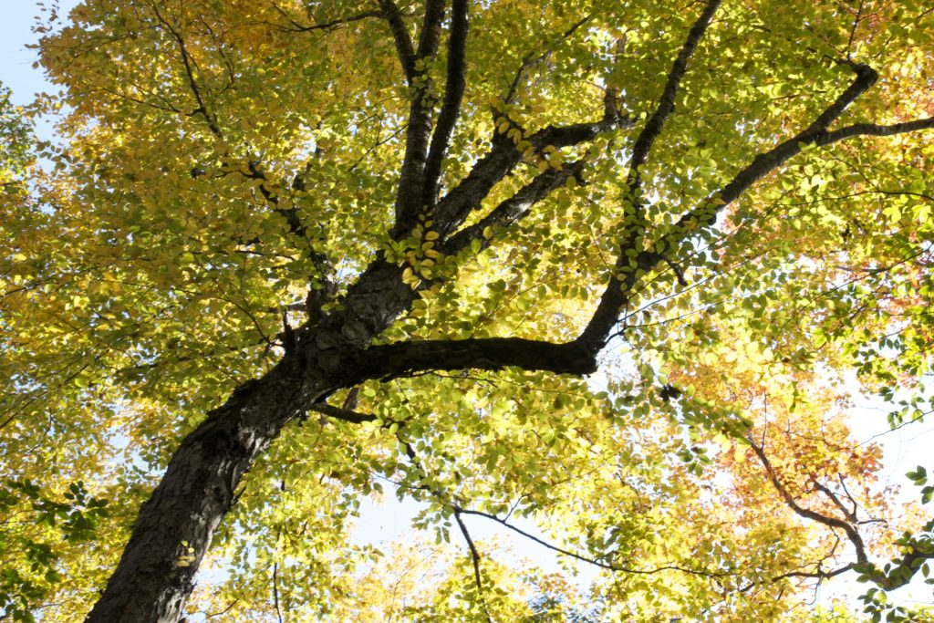 Looking Up at Autumn Foliage