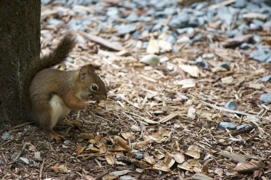 Squirrel Eating in the Forest