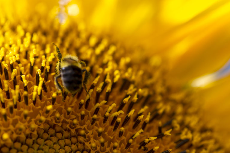 Macro Sunflower With a Bee