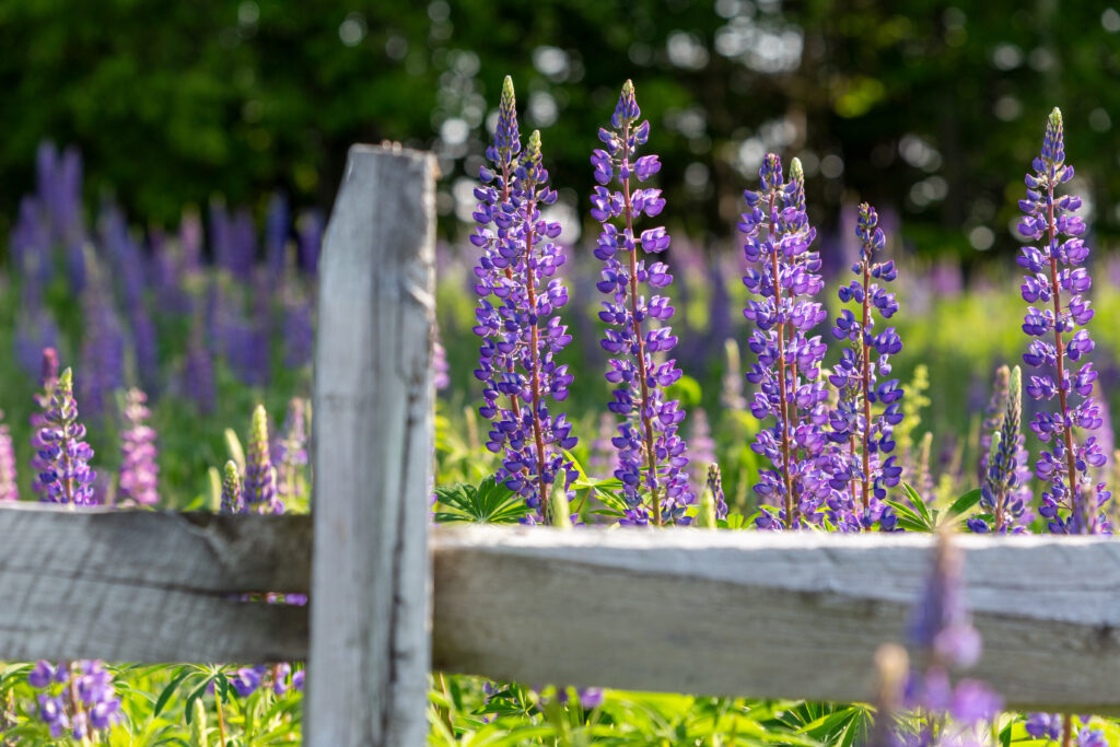 Lupine Flowers in the Spring
