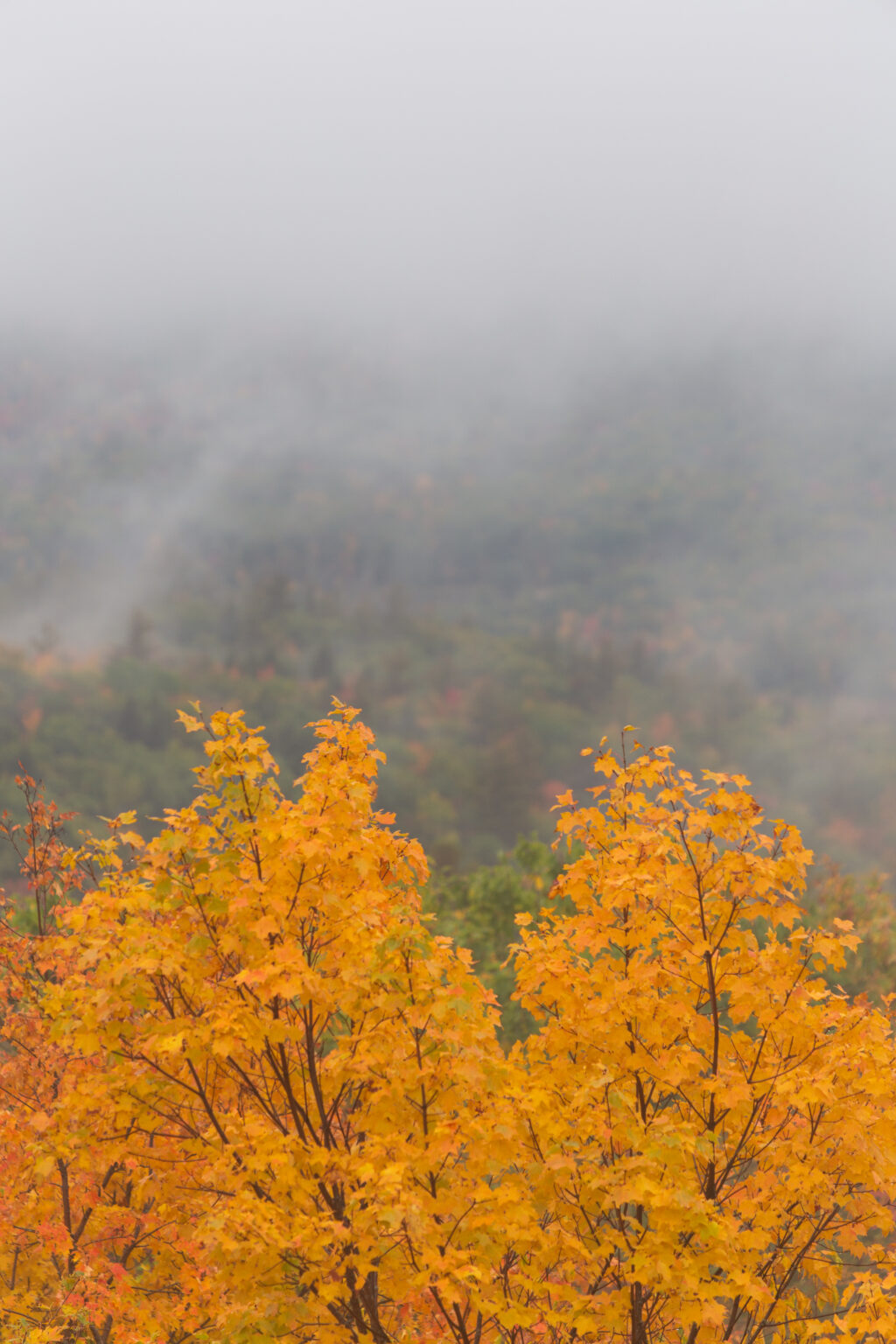 Maple Tree Foliage and Foggy Mountains