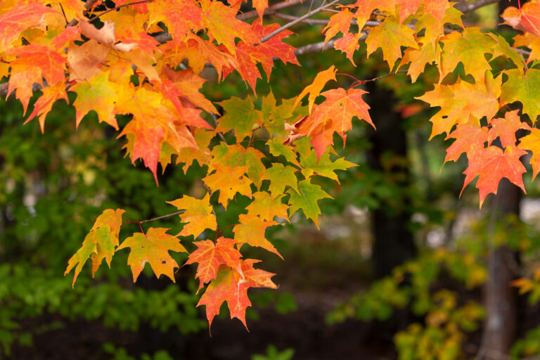 Orange Maple Tree Leaves