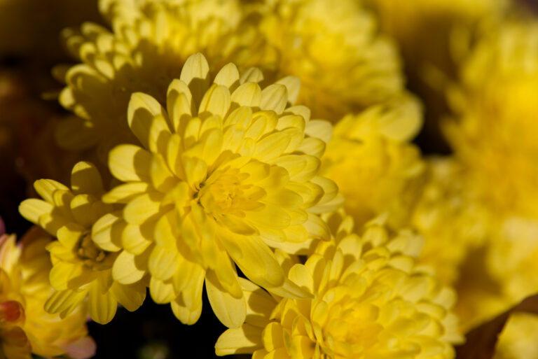 Yellow Mum Flowers