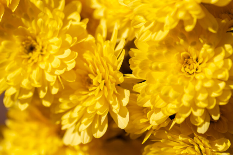 Bright Yellow Mum Flowers