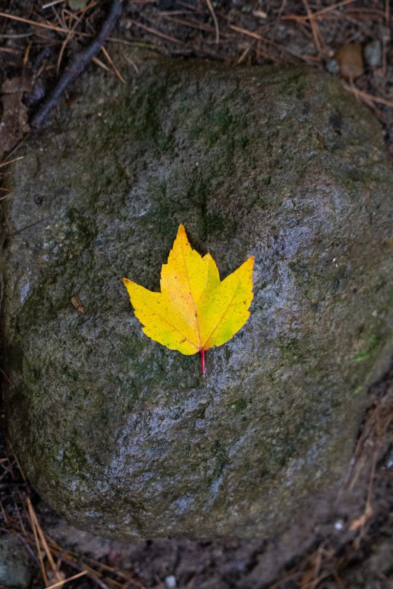 Golden Maple Leaf on Rock