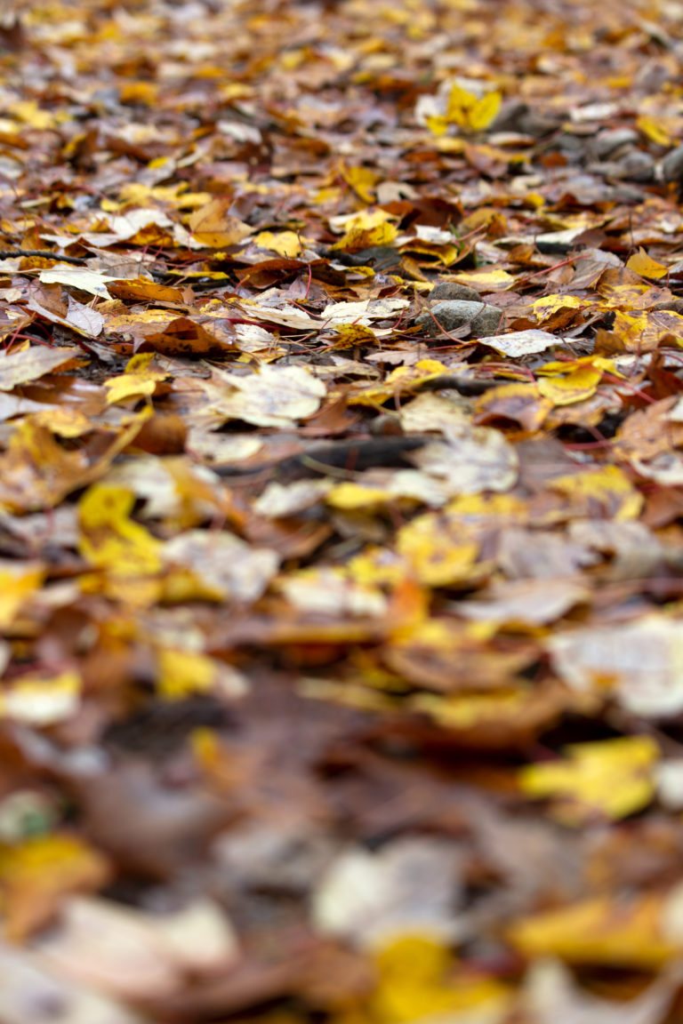 Fallen Fall Leaves
