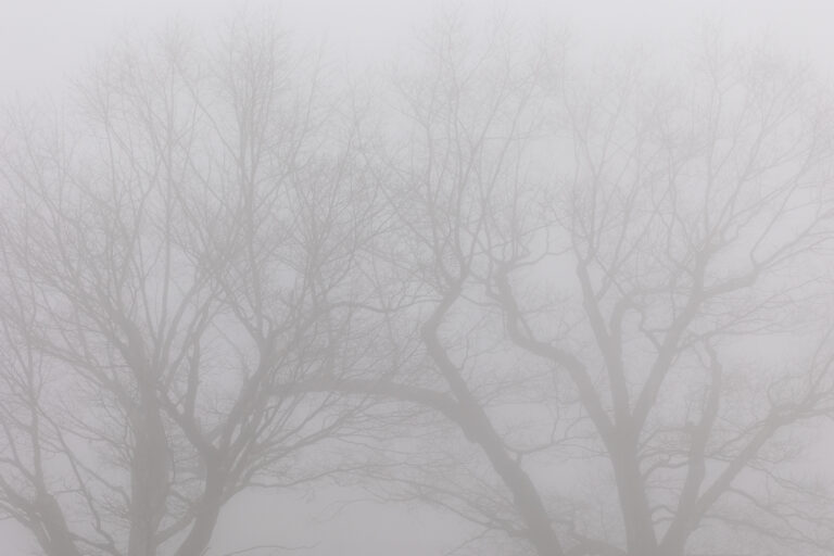 Foggy Tree Silhouettes