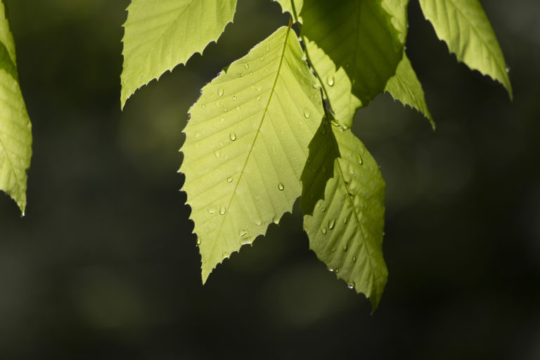 Translucent Beech Leaves