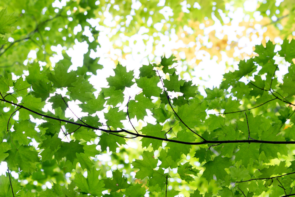 Vibrant Green Maple Leaves