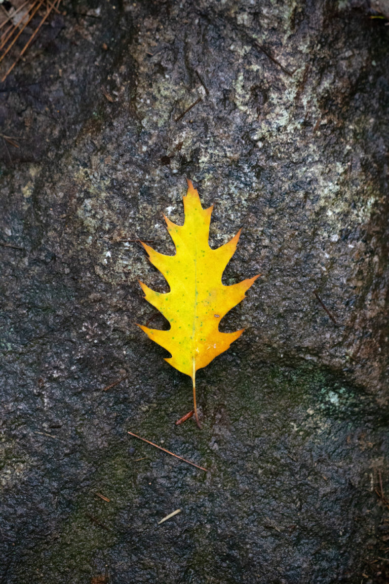 Golden Oak Leaf on Rock