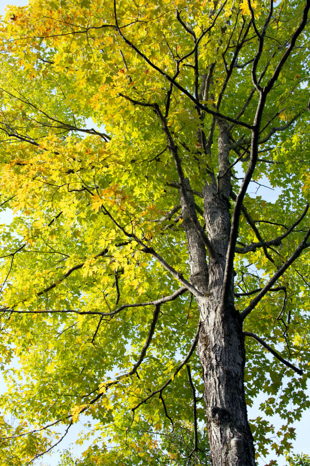 Green to Yellow Foliage Tree