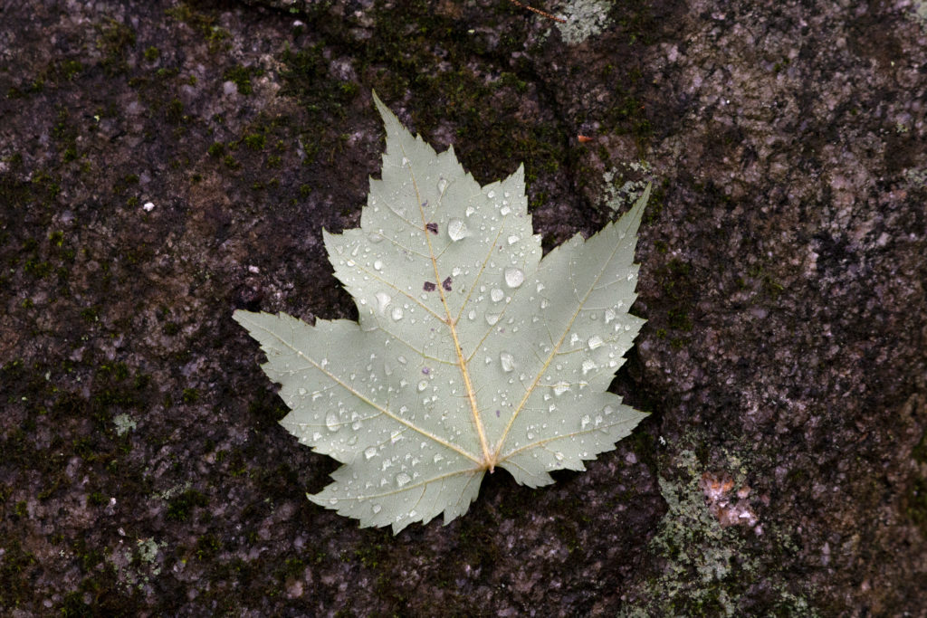 Wet Maple Leaf, Muted Colors