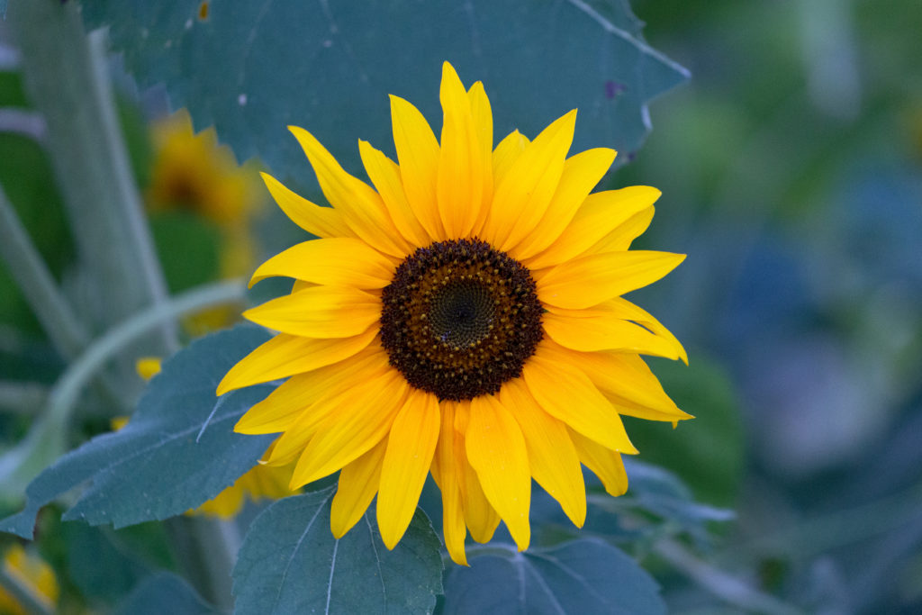 Sunflower on a Cool Morning
