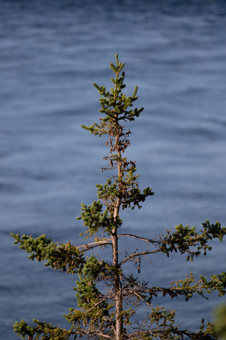Scraggly Pine
