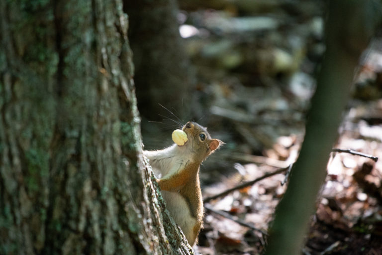 Red Squirrel with Acorn Meat