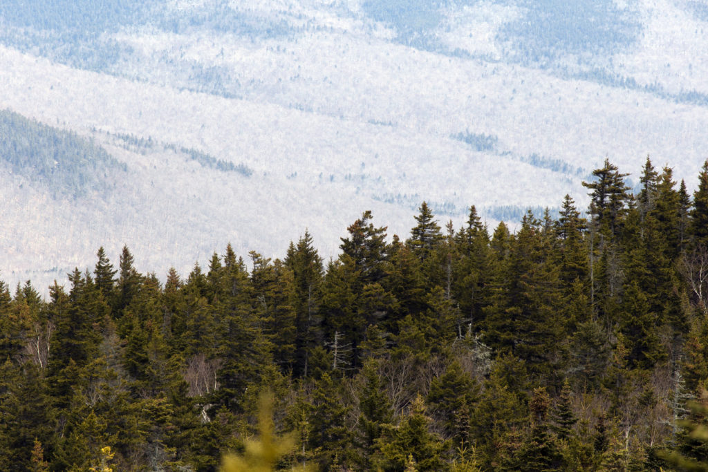 Clouds Over Pine Forest