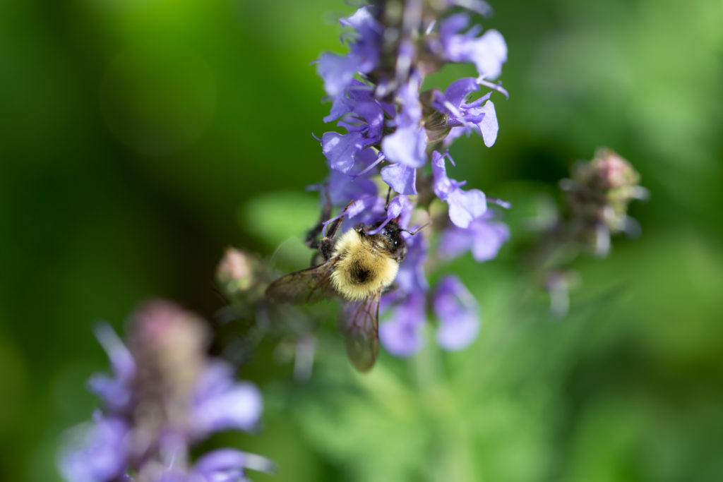 Bumblebee on Meadow Sage