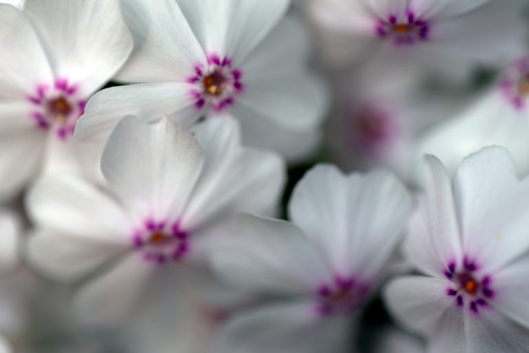 Small White and Pink Flowers