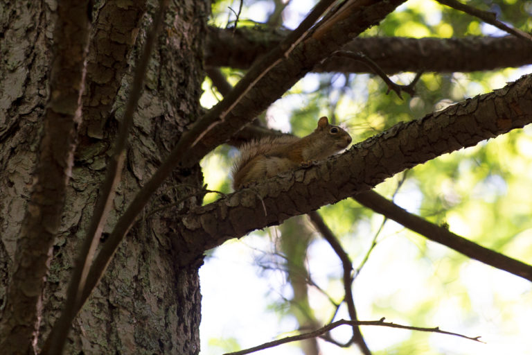 Red Squirrel in Tree