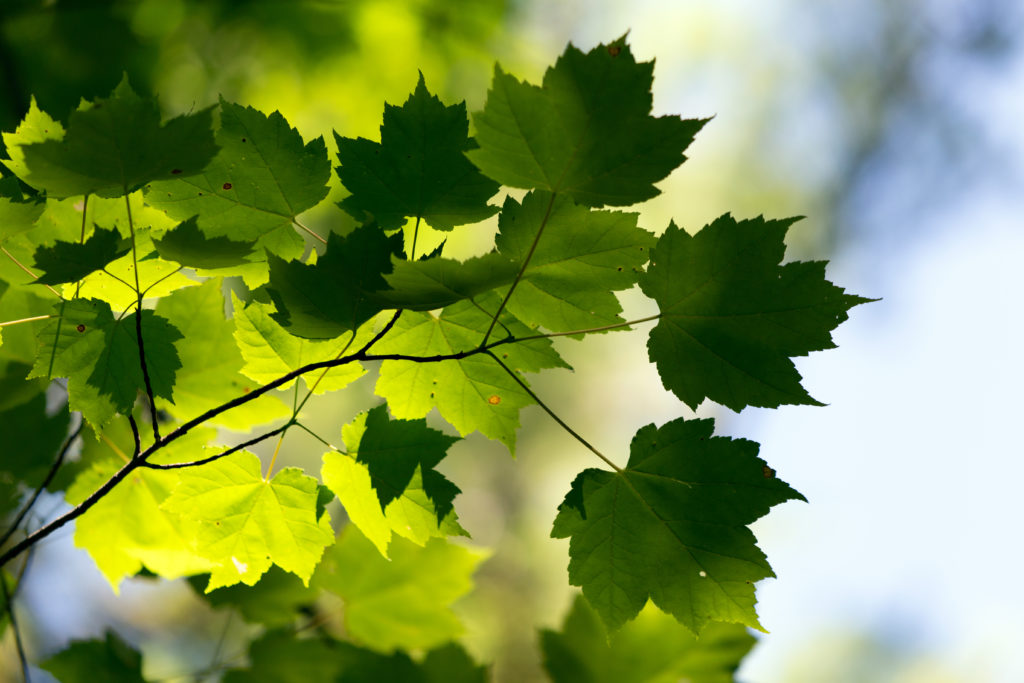 Contrasting Green Maple Leaves
