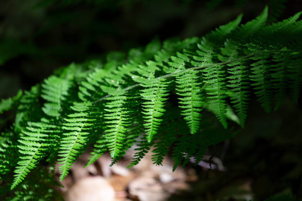 Drooping Fern Frond