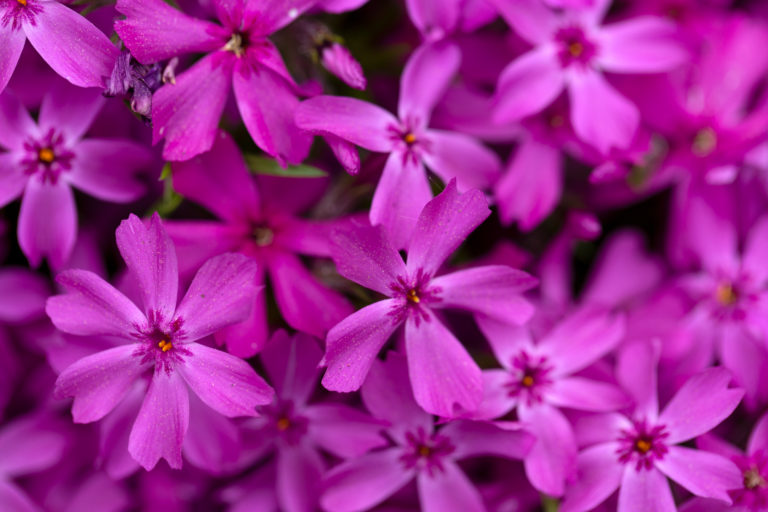 Small Bright Pink Flowers