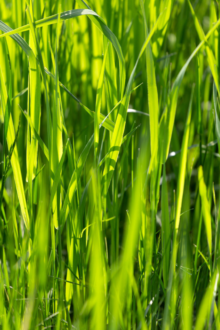 Bright Green Blades of Grass