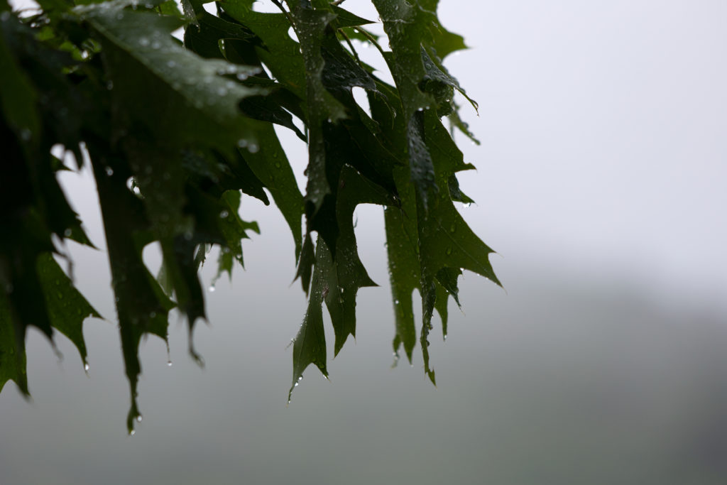 Dripping Oak Leaves Against Foggy Background