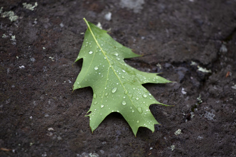 Wet Oak Leaf on the Ground