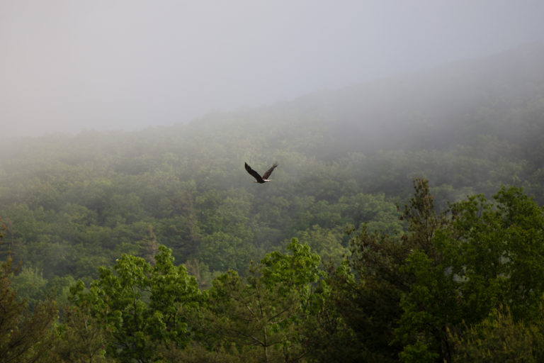 Large Bird Flying Low Over Treetops